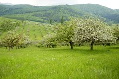 Orchard with blossomed apple trees