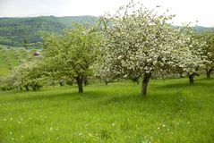 Orchard with blossomed apple trees on spring