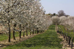 Orchard with blossoming pear trees Stock Image