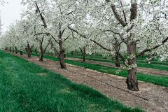 Orchard with blossoming trees Stock Photo