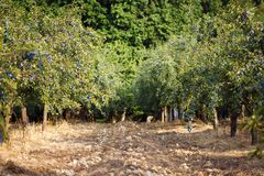 Orchard of blue plums Royalty Free Stock Photos