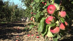 Orchard bursting with ripe apples and containers with fruits. Focus change. 4K. Orchard bursting with ripe red apples and containers with harvested fruits. Focus stock video footage