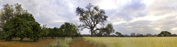 Orchard in the bushveld Stock Image