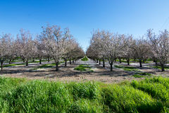Orchard in California. Panoramic view of blossoms in orchard, photographed from the highway in the beginning of the spring in Winters, California Royalty Free Stock Photo
