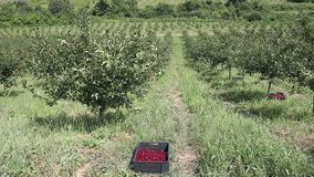 Orchard with cherries harvest