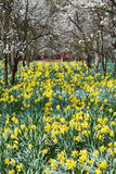 Orchard and daffodils field Royalty Free Stock Photos
