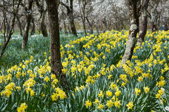 Orchard and daffodils field Stock Photo