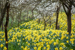 Orchard and daffodils field Royalty Free Stock Image