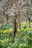 Orchard and daffodils field Royalty Free Stock Images