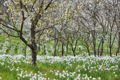 Orchard and daffodils field Stock Images
