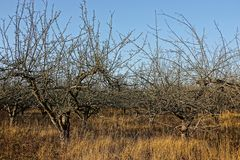 Orchard in with empty autumn trees in dry grass against the sky. Orchard in with empty autumn trees in dry grass on a sunny day royalty free stock photos