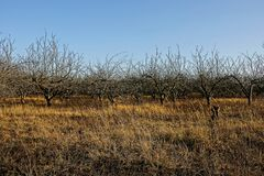 Orchard in with empty autumn trees in dry grass against the sky. Orchard in with empty autumn trees in dry grass on a sunny day stock photo