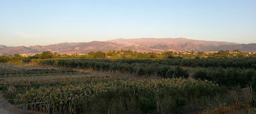 Orchard and field of olive trees Royalty Free Stock Photo