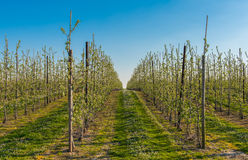 Orchard. Filled with blooming apple trees stock photography