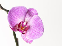 Orchard flower. Isolated mauve orchard flower on white background Royalty Free Stock Photos