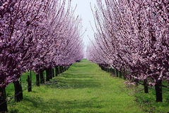 Orchard with flowering trees Royalty Free Stock Photography