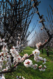 Orchard with flowering trees Royalty Free Stock Photo