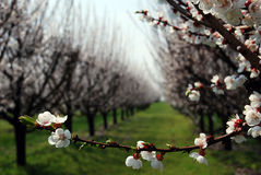 Orchard with flowering trees Stock Photos