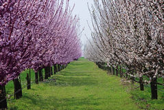 Orchard with flowering trees Stock Images