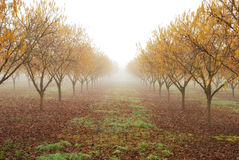 Orchard Fog Royalty Free Stock Images