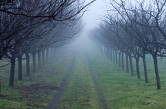 Orchard on foggy day Stock Photography