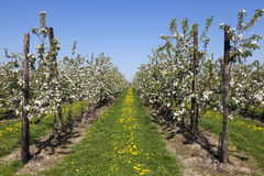 Orchard with fruit trees in blossom. Fields with fruit trees in blossom, Haspengouw, Belgium royalty free stock photography