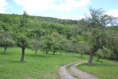 Orchard of fruit trees in the forest near meadows Royalty Free Stock Photo