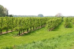Orchard with fruit trees,Betuwe,Netherlands Royalty Free Stock Photos