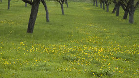 Orchard. Fruit trees, standing in a meadow with dandelions Royalty Free Stock Photography
