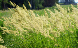 Orchard grass. In the wind stock image