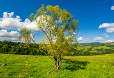 Orchard on the grassy hill. Beautiful countryside in fine weather with fluffy clouds on the blue sky stock photography