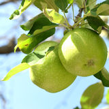Orchard. Green apples on a branch Royalty Free Stock Image