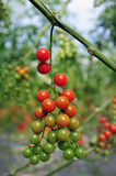Orchard Growing Tree Tomatoes Royalty Free Stock Photo