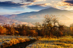 Orchard on a hillside at foggy sunrise in mountains. Abandoned orchard on a hillside. some orange foliage in golden light. foggy sunrise in mountains Stock Image