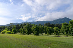 Orchard Inside Daintree Rainforest. Soursop trees or annona muricata at orchard surrounded by rainforest and mountains of daintree national park north queensland Stock Images