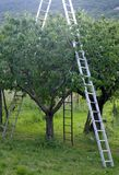 Orchard with ladder propped to fruit trees during harve Royalty Free Stock Photo