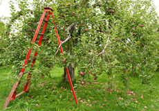 Orchard with ladder to pick up apples Royalty Free Stock Photo