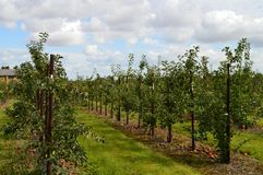 Orchard landscape. View of orchard sky with clouds and rows of trees Royalty Free Stock Images