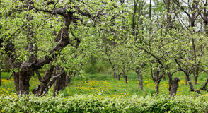 Orchard on a lawn in the spring. Royalty Free Stock Photo