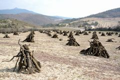 Orchard looking like an Indian camp, with its fruit trees cutted, the branches are stacked in pyramid stock photography