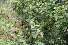 In the orchard. A lot of apples on the tree branches in the orchard Stock Photos
