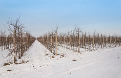 Orchard with low apple trees in winter Stock Images