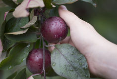 Orchard Stock Images