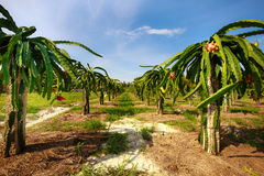Orchard with many dragon fruit Royalty Free Stock Image