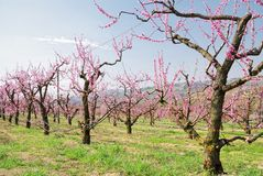 Orchard in may Royalty Free Stock Photography