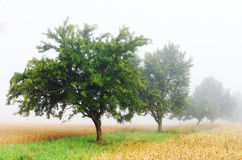 Orchard in the mist Royalty Free Stock Image