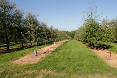 Orchard of mixed age cider apple trees Stock Photos