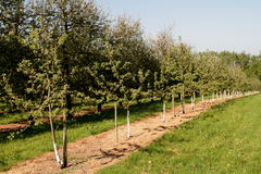 Orchard of mixed age cider apple trees Royalty Free Stock Image