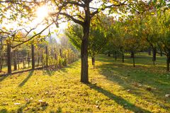 Orchard and vineyard in morning sun royalty free stock photos