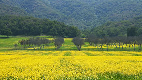 Orchard with mustard panorama. Springtime view of an orchard set in fields of flowering wild mustard east of Ojai, California Royalty Free Stock Photos